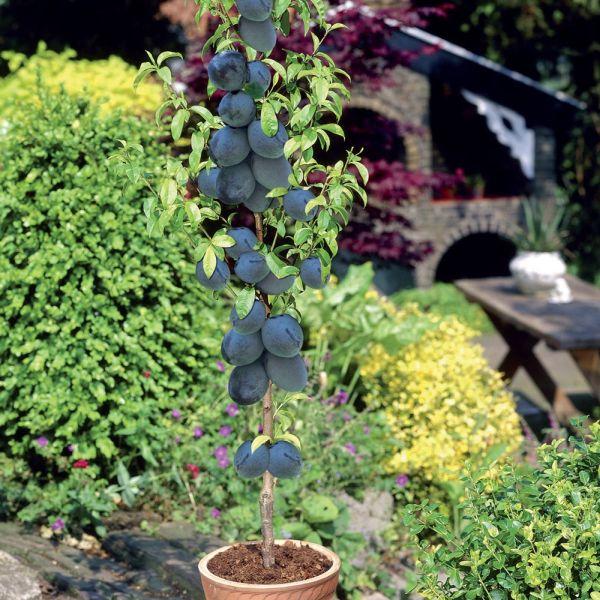 7 árboles frutales que puedes cultivar en tu sala de estar