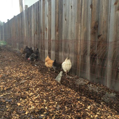 chicken-tunnel3